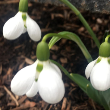 Snowdrop Day: Playing Hooky